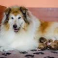 d-vrh-kolia-dlhosrsta-steniatka-collie-rough-puppies 12.jpg