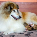 d-vrh-kolia-dlhosrsta-steniatka-collie-rough-puppies 5.jpg
