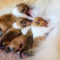 d-vrh-kolia-dlhosrsta-steniatka-collie-rough-puppies 7.jpg