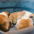 d-vrh-kolia-dlhosrsta-steniatka-collie-rough-puppies 8.jpg