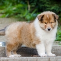 kolia-dlhosrsta-steniatka-collie-rough-puppies-6w 1.jpg