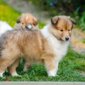 kolia-dlhosrsta-steniatka-collie-rough-puppies-6w 2.jpg