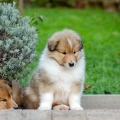 kolia-dlhosrsta-steniatka-collie-rough-puppies-6w 3.jpg