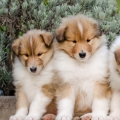 kolia-dlhosrsta-steniatka-collie-rough-puppies-6w 4.jpg