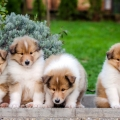 kolia-dlhosrsta-steniatka-collie-rough-puppies-6w 5.jpg