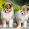 kolia-dlhosrsta-steniatka-collie-rough-puppies-6w 6.jpg