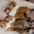 kolia-dlhsorsta-collie-rough-d-litter-7-days 1.jpg
