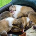 kolia-dlhsorsta-collie-rough-d-litter-7-days 4.jpg