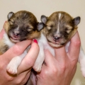 kolia-dlhsorsta-collie-rough-d-litter-7-days 6.jpg