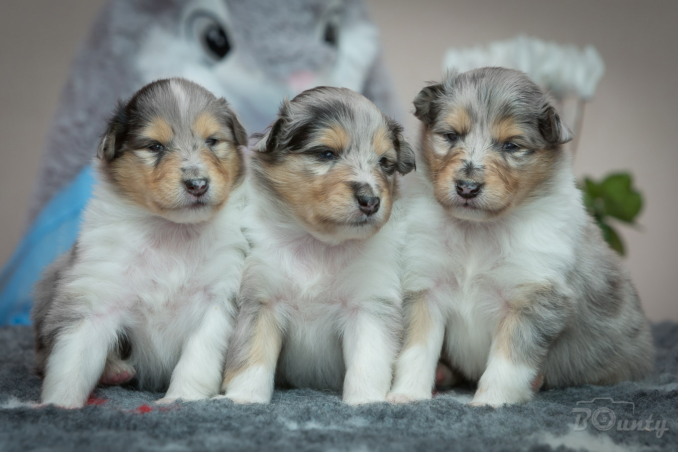 3w h puppies collie rough blue merle 2